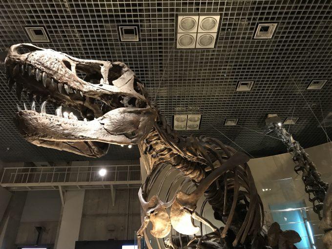 国立科学博物館のティラノサウルスの化石