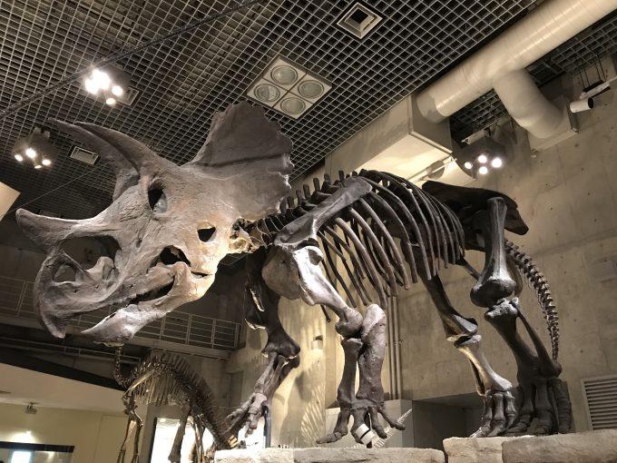 国立科学博物館のトリケラトプスの化石