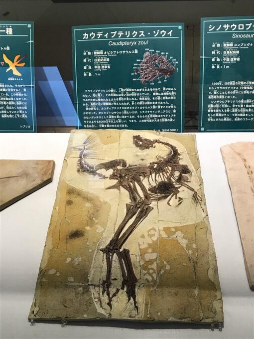 カウディプテリクスの化石